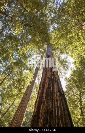 Big Basin Redwoods State Park. Le comté de Santa Cruz, en Californie. Banque D'Images