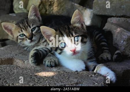Deux adorables chatons tabby fixant ensemble sur le terrain Banque D'Images