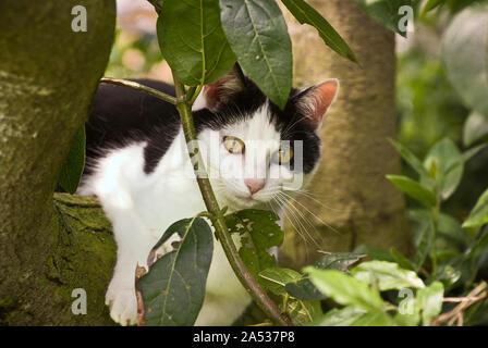 Un pays en noir et blanc à l'aide de cat la fourche d'un arbre de la cerise sauvage comme un point d'observation pour la chasse de proies en UK Banque D'Images