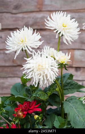 Groupe de Playa Blanca blanc fleurs de cactus dahlia plantes tubéreuses qui sont caduques et la moitié hardy Banque D'Images