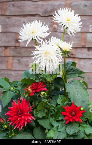 Groupe de Playa Blanca blanc avec fleurs de cactus dahlia dahlias rouge pygmée rouge en face d'eux que les plantes tubéreuses sont caduques et la moitié hardy Banque D'Images