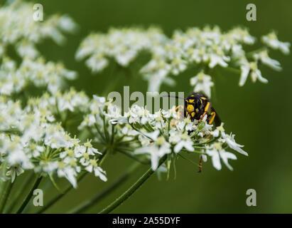 Abeille sur fleur Banque D'Images