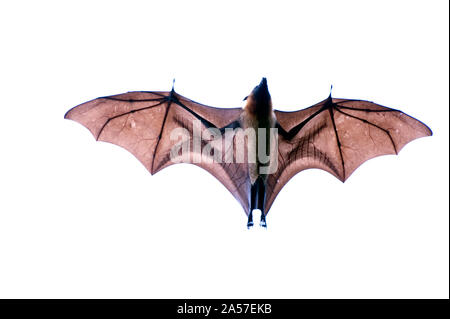 Close-up of a Flying Fox malgache (Pteropus rufus) bat, Bryanston, Madagascar Banque D'Images