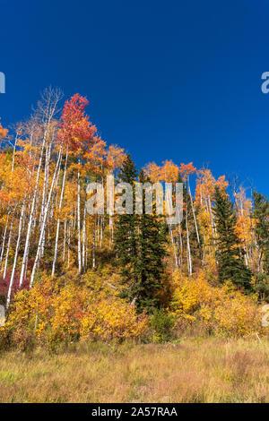 Trembles au maximum de la couleur de l'automne dans les montagnes de San Juan près de Durango, Colorado. Banque D'Images