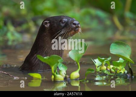 La loutre néotropicale (Lontra longicaudis), les zones humides du Pantanal, Brésil