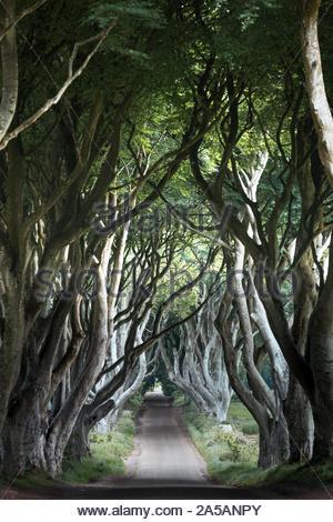 Majestic xviiie siècle bordée d'hêtre route connue sous le nom de Dark Hedges - emplacement à partir de la célèbre série TV HBO Game of Thrones au lever du soleil - près de Ballymoney Banque D'Images