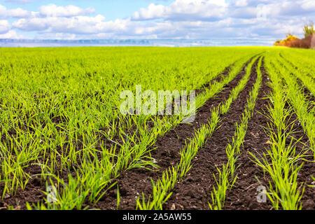 Germes de blé d'hiver poussé dans un champ sans fin en vert clair lisse lignes close-up.