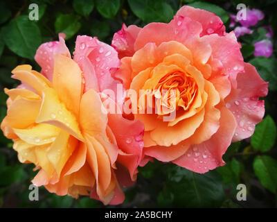 Roses Banque D'Images