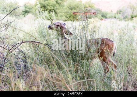 Zion National Park en Utah Watchman Campground et un cerf mulet near camp site manger arbustes plantes vertes Banque D'Images