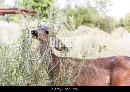 Libre d'un cerf mulet avec de grandes oreilles près de camp site pâturage buissons de manger des plantes vertes dans le parc national de Zion dans l'Utah campground Banque D'Images