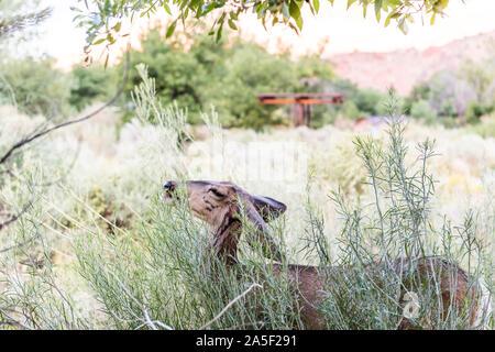 Zion National Park en Utah camping et un cerf mulet near camp site manger arbustes plantes vertes Banque D'Images