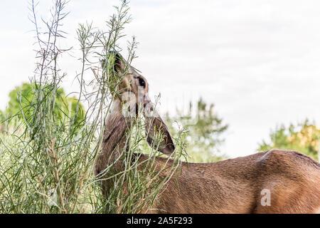 Un cerf mulet avec les grandes oreilles libre près de camp site pâturage buissons de manger des plantes vertes dans le parc national de Zion dans l'Utah campground Banque D'Images