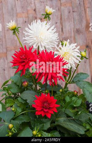 Groupe de fleurs de cactus dahlia Nain rouge avec blanc dahlias Playa Blanca derrière eux que les plantes tubéreuses sont caduques et la moitié hardy Banque D'Images