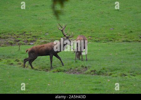 Portrait de puissants majestueux rouge adultes berghoff en automne automne combats forêt Banque D'Images