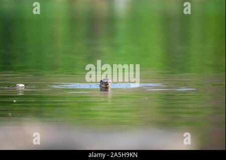 Des animaux vulnérables à revêtement lisse ou loutre Cerdocyon perspicillata image miroir jouant en vert l'eau calme de la rivière Ramganga, Jim Corbett national park