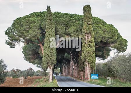Pins parasols (pierre aussi pins, Pinus pinea) et les cyprès de l'ombre d'une route de campagne dans le sud de la Toscane Banque D'Images
