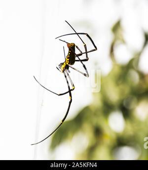 Araignées exotiques en Thaïlande Banque D'Images