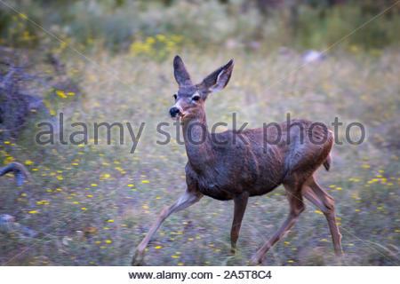 Le cerf mulet (Odocoileus hemionus) dans le parc national de Zion est un 229 sq-mi parc national américain situé dans le sud ouest de l'Utah, USA près de Springdale Banque D'Images