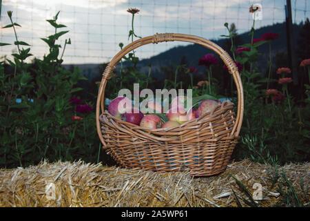 Un panier en osier rempli de pommes n'affiche qu'une petite partie de la journée sur les richesses de ce milieu rural ferme biologique. Banque D'Images