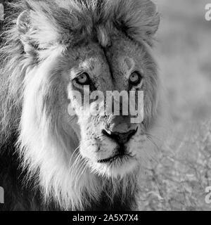 Un homme Lion à crinière noire dans le sud de savane africaine