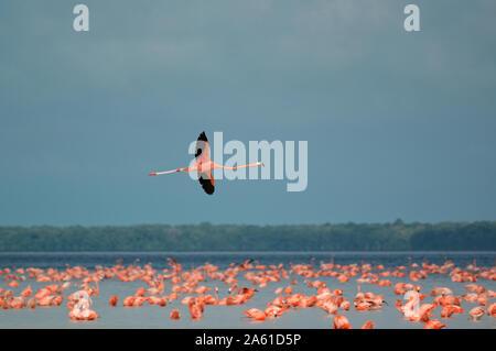Celestun, Yucatan, Mexique - Le 18 décembre 2005: un flamant rose volant au-dessus d'autres sur la rivière Banque D'Images