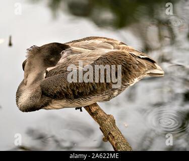 Brown Pelican oiseaux juvéniles se reposant sur une branche par l'eau et profiter de son environnement et ses environs.