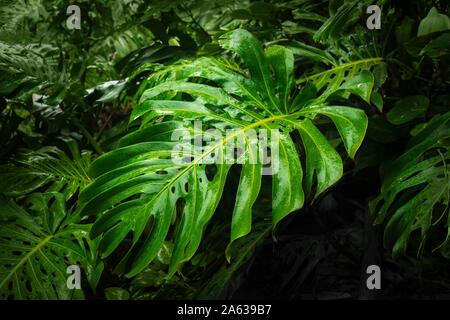 Grandes feuilles vert forêt tropicale Banque D'Images