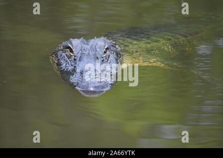 L'eau trouble verte avec un gator dans le marais. Banque D'Images