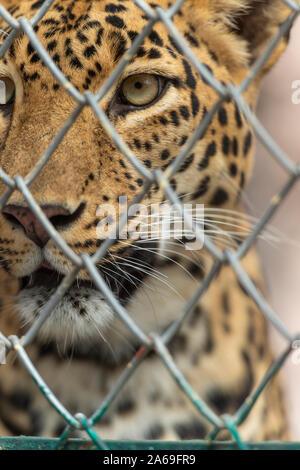 Man eater Leopard en captivité vu près de Junnar,Maharashtra, Inde Banque D'Images