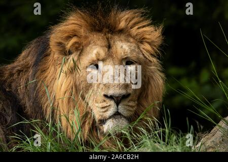 Un portrait d'un chef des lions. Le magnifique grand chat est à la recherche autour de et d'être alerte. Banque D'Images