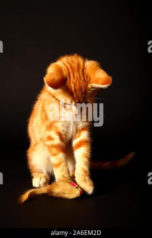 Le gingembre mackerel tabby chat jouant avec une souris jouet pour chat isolé sur un fond noir