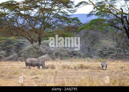 Mère et bébé rhinocéros blanc le pâturage dans le parc national du lac Nakuru, Kenya, avec en toile de fond une stauesque les arbres de la fièvre. Banque D'Images