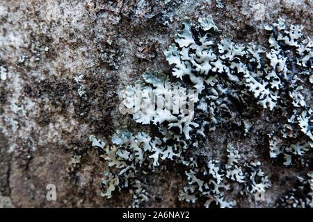 Tube à capuchon lichen poussant sur Rock in Springtime Banque D'Images