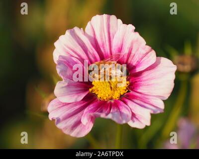 Abeille pollinisant un cosmos rose et pourpre fleur à Chenies à la fin de l'été. Banque D'Images