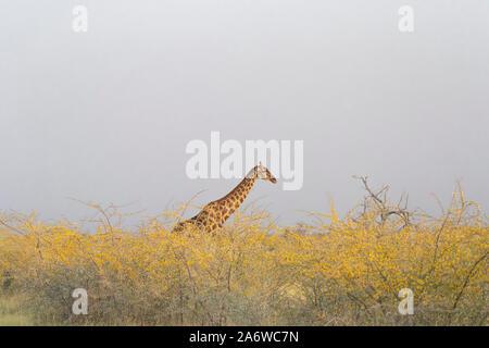 Girafe (Giraffa camelopardis) dans le parc national d'Etosha, Namibie Banque D'Images
