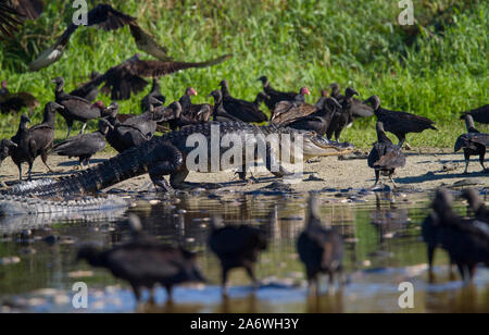 Alligator Alligator mississippiensis) (Black et vautours (Coragyps atratus) se nourrissant des restes d'un ''poissons', Myakka, USA. Banque D'Images