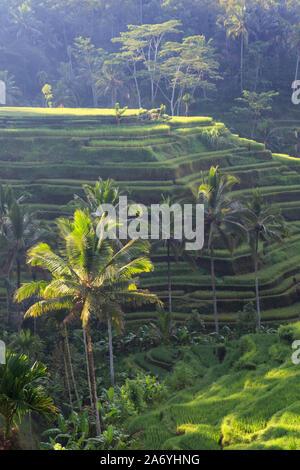 L'INDONÉSIE, Bali, Ubud, Ceking Rice Terraces Banque D'Images