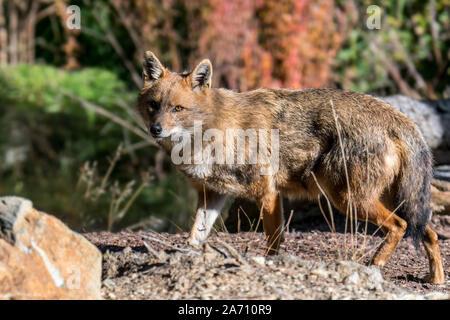 Le chacal doré (Canis aureus) Canidé originaire d'Europe du Sud-Est et l'Asie