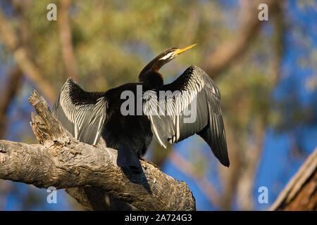 Australasian Darter Anhinga novaehollandiae), (vu ici en pose typique, assis sur un arbre mort, ailes déployées, le séchage. Banque D'Images