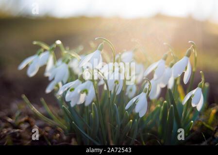 Close-up of snowdrops dans le rétro-éclairage Banque D'Images