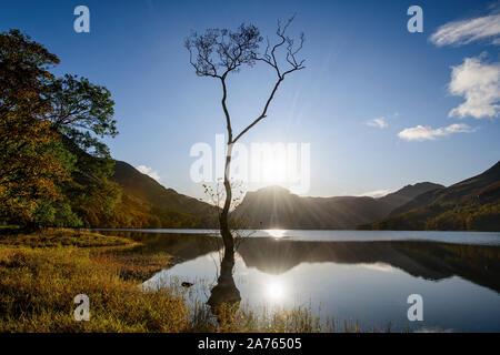Un arbre isolé sur la rive de Buttermere silhouetté contre le ciel à l'automne Banque D'Images