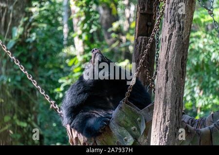 Centre de sauvetage des ours au Kwang Si Cascades, Luang Prabang, Laos Banque D'Images