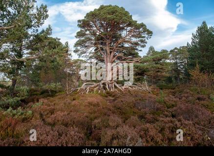 Pin sylvestre (Pinus sylvestris) sur la lande de bruyère dans le Parc National de Cairngorms, Badenoch et Strathspey, Ecosse, Royaume-Uni Banque D'Images