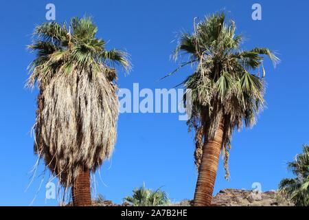 Espèces phares de Palm Canyon dans le désert du Colorado, communément que la Californie Fan Palm, et reconnu comme botaniquement Washingtonia filifera. Banque D'Images