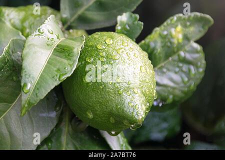 Le mûrissement des fruits lemon tree close up. Frais vert citron lime avec de l'eau gouttes hanging on tree branch dans jardin bio