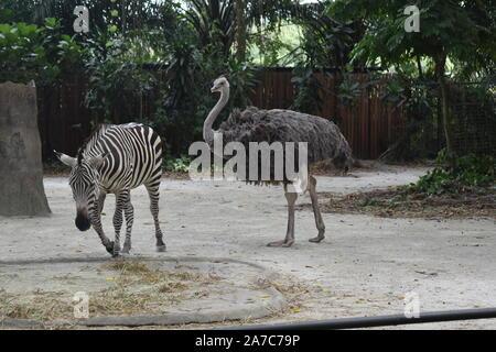 Zèbre et l'autruche sont marcher en forêt Banque D'Images