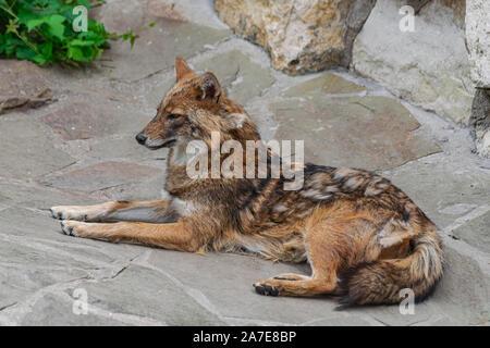 Le chacal doré (Canis aureus), portant sur la surface rocheuse