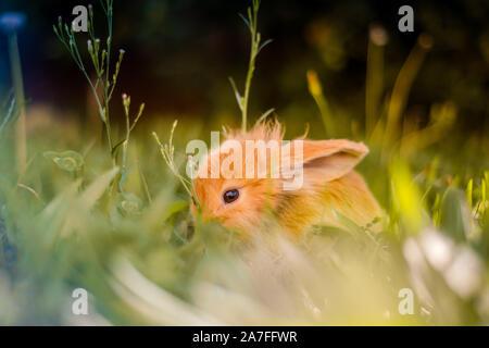 Orange mignon lapin nain de jardin japonais en mangent de l'herbe avec une oreille et une oreille vers le bas.