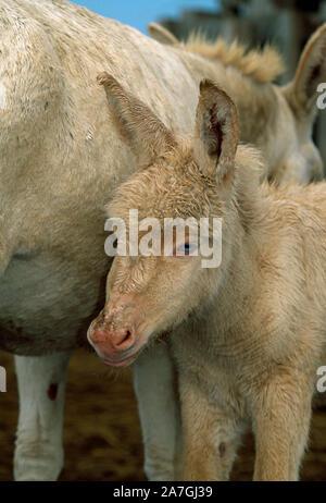 Poulain de l'ÂNE DOMESTIQUE, albino. ( Equus asinus ). Hongrie
