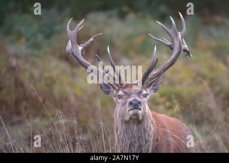 Cervus elaphus , Red Deer stag en rut. Banque D'Images